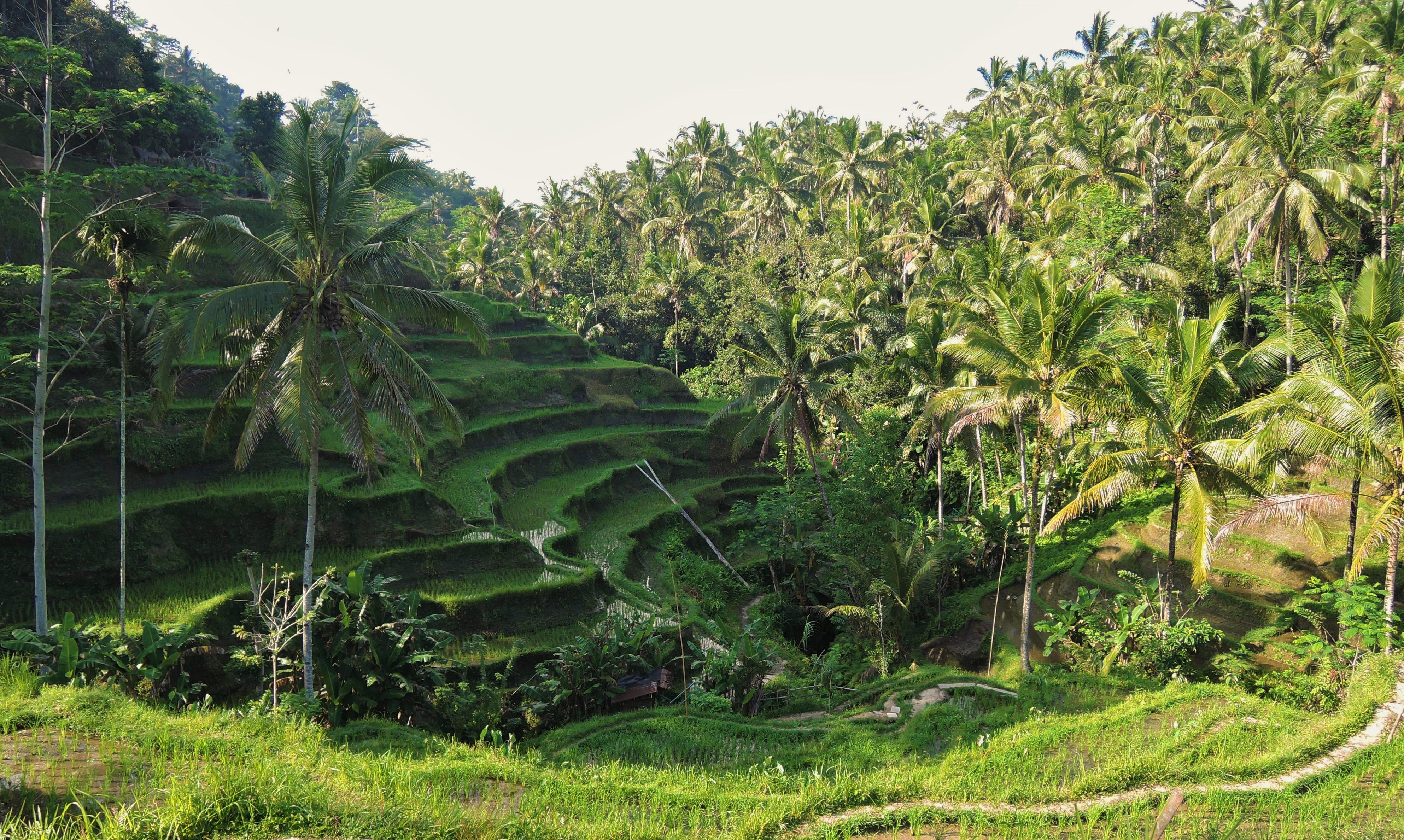 Lindo campo de arroz em Ubud