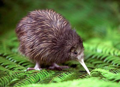 Kiwi bird in New Zealand